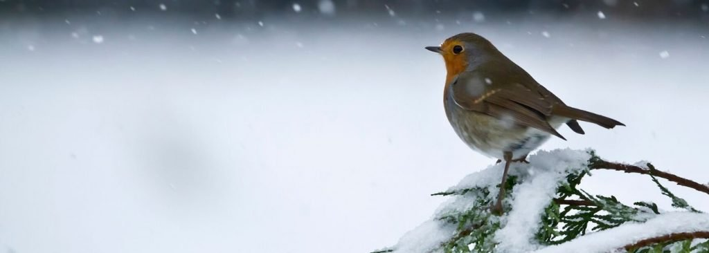 robin in the snow 1024x366 1
