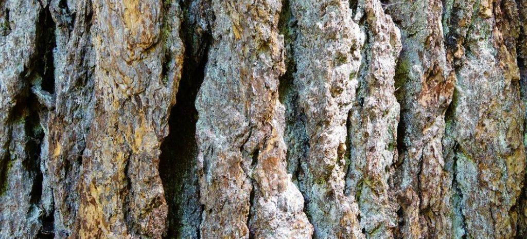 western red cedar 1
